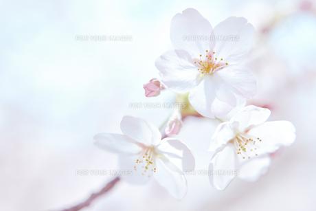 桜と空の素材 [FYI01033845]