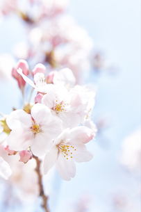 桜と空の素材 [FYI01033848]