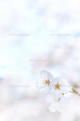 桜と空の素材 [FYI01033923]