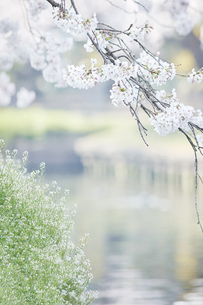 桜と川の素材 [FYI01033930]