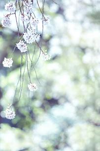 桜と森林の素材 [FYI01034072]