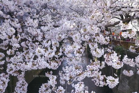 目黒川の桜の素材 [FYI01034905]