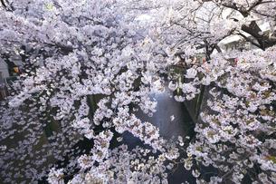 目黒川の桜の素材 [FYI01035088]