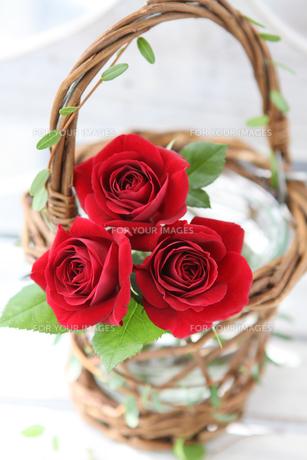 赤いバラの素材 [FYI01037182]
