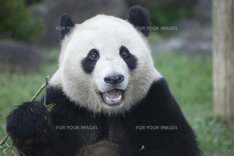 パンダの素材 [FYI01038892]