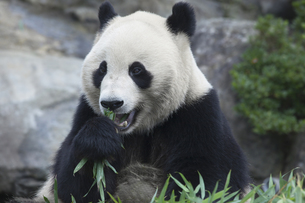 食事をするパンダの素材 [FYI01038907]