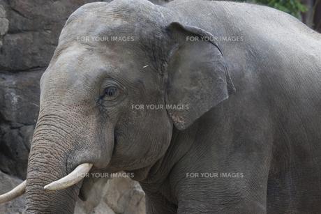 象の横顔の素材 [FYI01038926]
