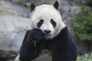 食事をするパンダの素材 [FYI01038929]