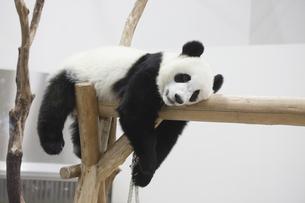 休むパンダの素材 [FYI01038930]