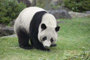 パンダの素材 [FYI01038973]