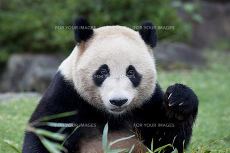 ジャイアントパンダの素材 [FYI01039006]