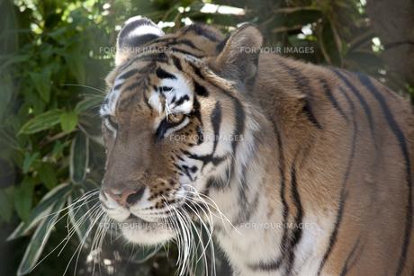 虎の横顔の素材 [FYI01039075]