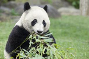 食事をするパンダの素材 [FYI01039084]
