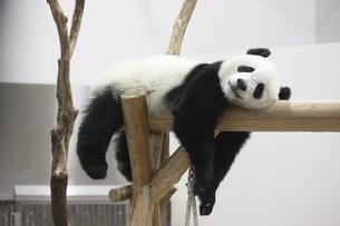 休むパンダの素材 [FYI01039163]