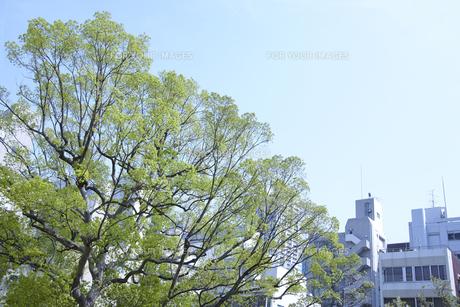 ビルの中にそびえ立つ新緑の木の素材 [FYI01044177]