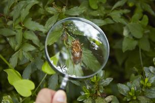 虫眼鏡で蝉の抜け殻を観察するの素材 [FYI01044307]