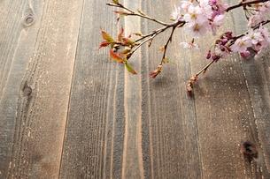 桜の枝 木材背景の写真素材 [FYI01052216]