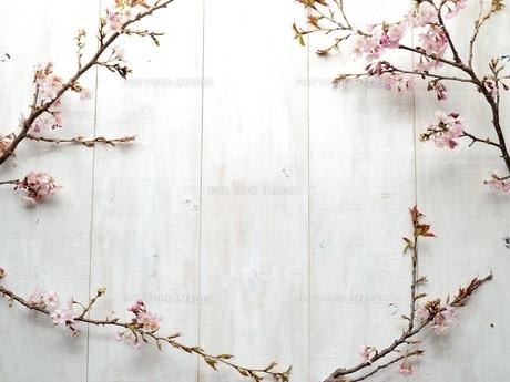 桜の枝 白木材背景の写真素材 [FYI01052220]