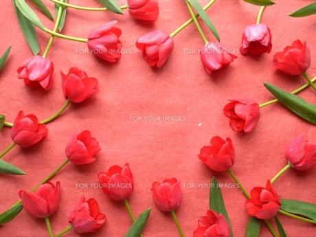 赤いチューリップたくさん 赤色背景の写真素材 [FYI01052225]