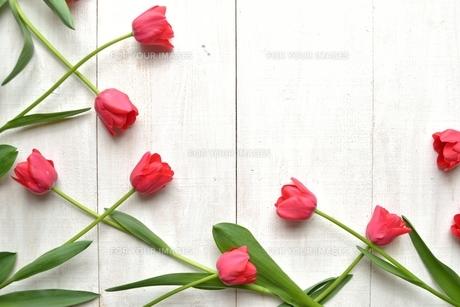 赤いチューリップ 白木材背景の写真素材 [FYI01052252]