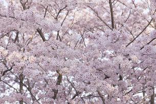 桜の素材 [FYI01053368]