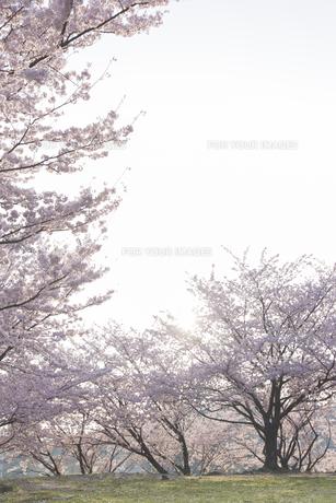 桜と太陽の素材 [FYI01053376]