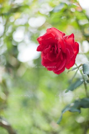 赤いバラの素材 [FYI01053495]
