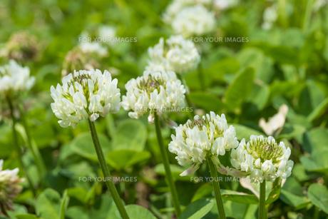 シロツメクサの花(横)の素材 [FYI01055776]