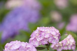 雨上がりのアジサイの花の素材 [FYI01058840]