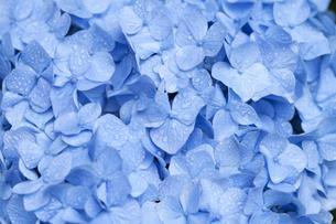 雨上がりのアジサイの花の素材 [FYI01058845]