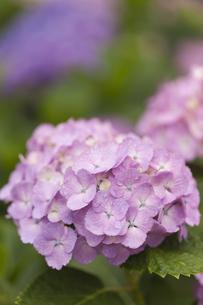 雨上がりのアジサイの花の素材 [FYI01058846]
