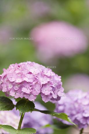 雨上がりのアジサイの花の素材 [FYI01058850]