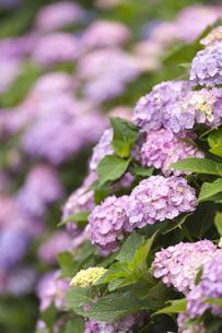 雨上がりのアジサイの花の素材 [FYI01058853]
