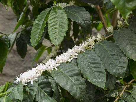 コーヒーの木の素材 [FYI01059807]