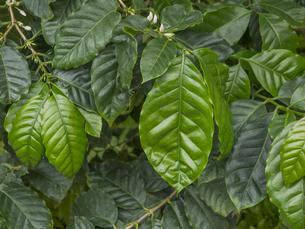 コーヒーの木の素材 [FYI01059809]