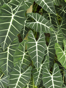 観葉植物 アロカシアの素材 [FYI01059837]