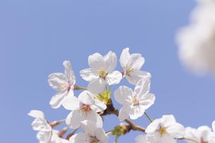 ソメイヨシノの花の素材 [FYI01059931]