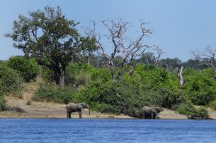 水辺の象の素材 [FYI01061293]