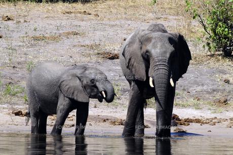 水辺の象の親子の素材 [FYI01061298]