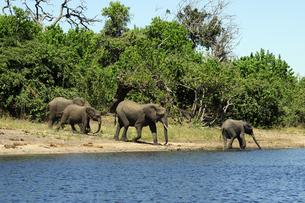 水辺の象の群れの素材 [FYI01061306]