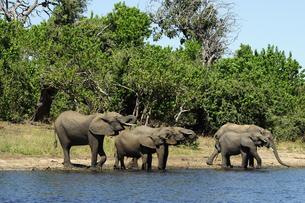 水辺の象の群れの素材 [FYI01061309]