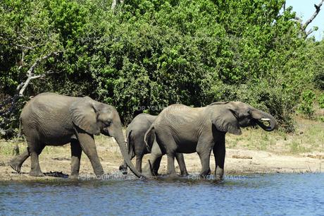 水辺の象の群れの素材 [FYI01061311]
