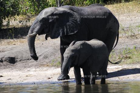 水辺の象の親子の素材 [FYI01061313]