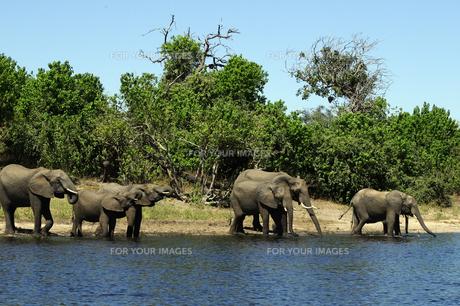 水辺の象の群れの素材 [FYI01061316]