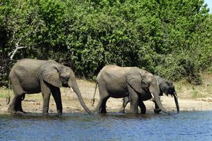 水辺の象の群れの素材 [FYI01061318]