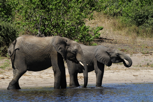 水辺の象の素材 [FYI01061320]