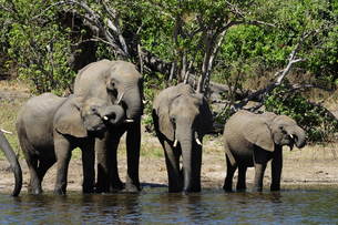水辺の象の群れの素材 [FYI01061322]