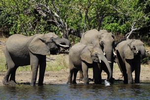 水辺の象の群れの素材 [FYI01061325]