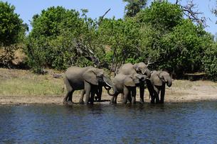 水辺の象の群れの素材 [FYI01061327]