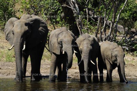 水辺の象の群れの素材 [FYI01061328]
